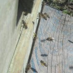 """Пчелиная """"цивилизация"""""""