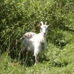 Коза на пвстбище