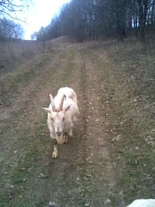 Коза Белка